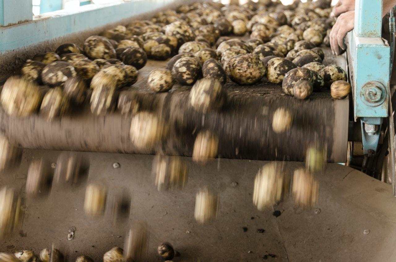potatoes on a conveyor belt