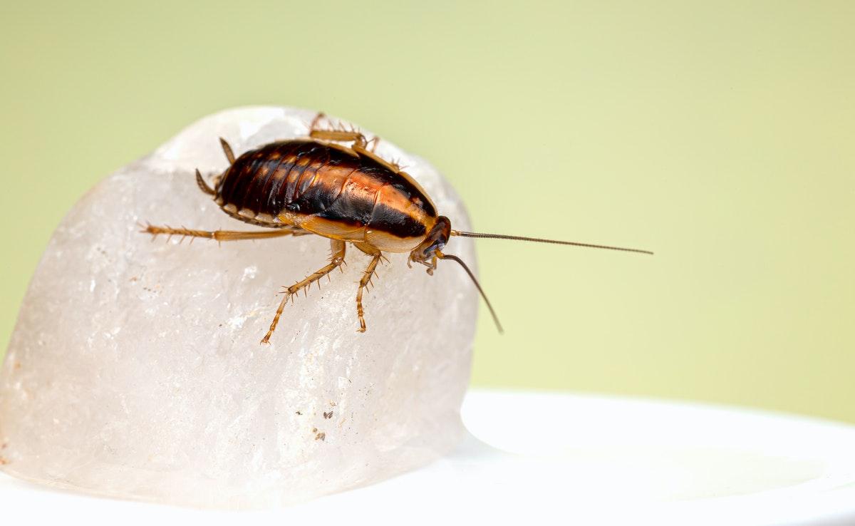 pest cockroach