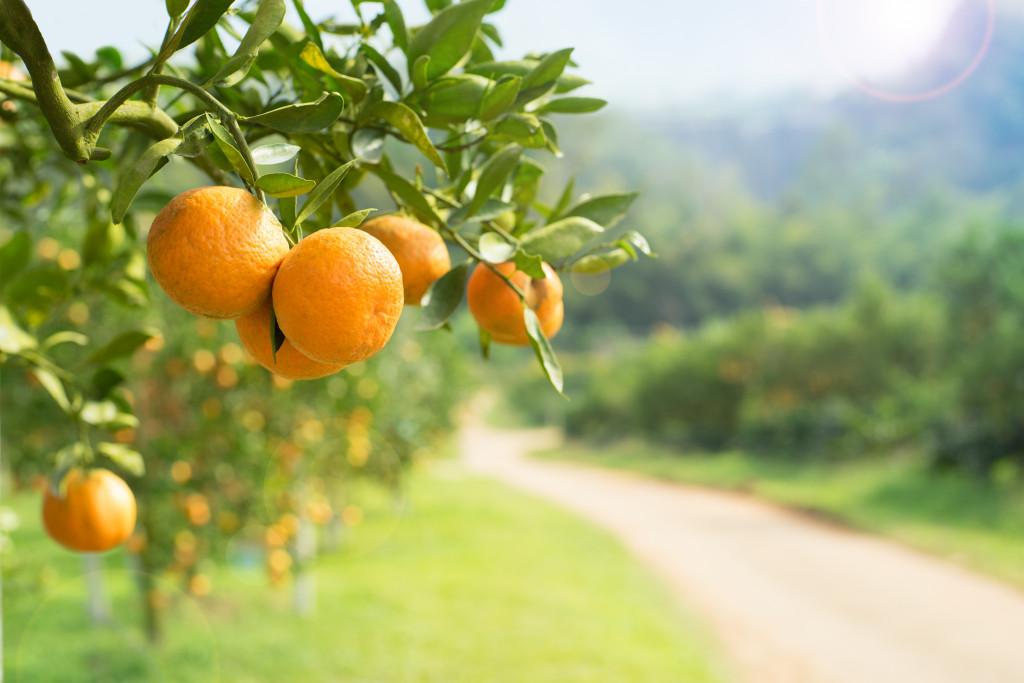 orange trees with fruits